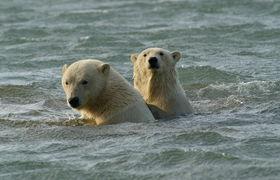 Bear polar   swimming   2010   kak 2